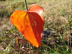 Orange sawbriar leaf