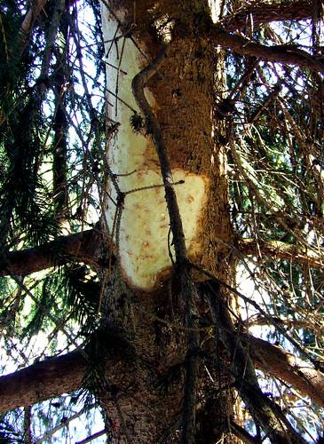 porcupine spruce