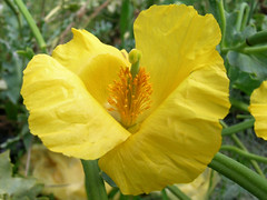 Yellow Horned Poppy, Stade Beach