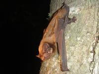 Oh dear: Bats prey on nocturnally migrating songbirds