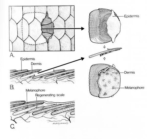 skin structure of guppy guppies onli. Black Bedroom Furniture Sets. Home Design Ideas