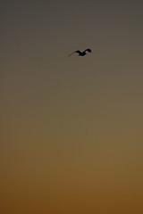 dawngull