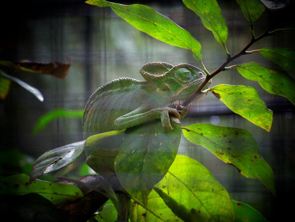 Elusive Mr.Chameleon by soham_pablo, on Flickr