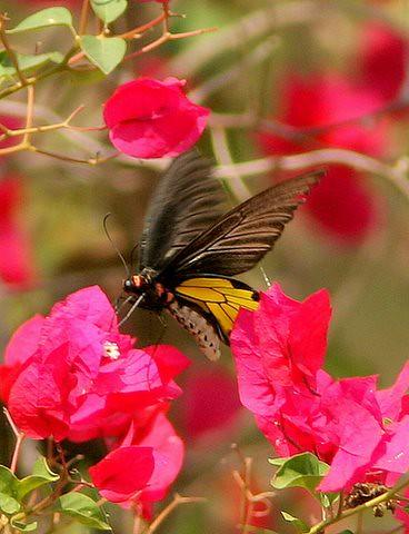 southern Birdwing Closeup