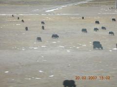 Yaks and more yaks