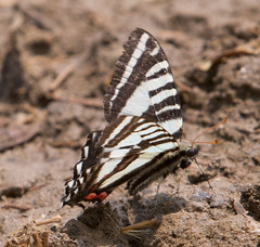 """IMG_5387: Zebra Swallowtail Butterfly • <a style=""""font-size:0.8em;"""" href=""""http://www.flickr.com/photos/54494252@N00/15876822/"""" target=""""_blank"""">View on Flickr</a>"""