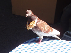Pigeon with bread necklace