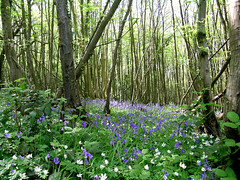 Church Wood Nature Reserve in spring.