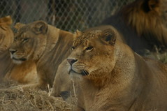 Lions at the Exotic Feline Rescue Center