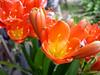 Naranja iridiscente II