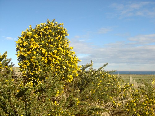 Scottish bushes