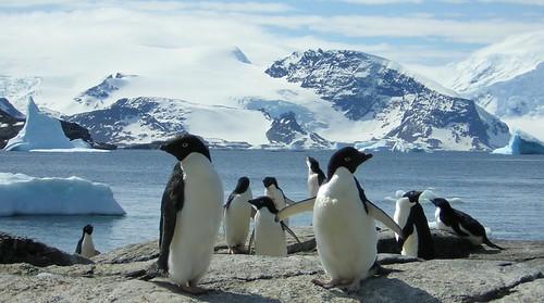 Antarctic: Signy Island - Adelie penguins