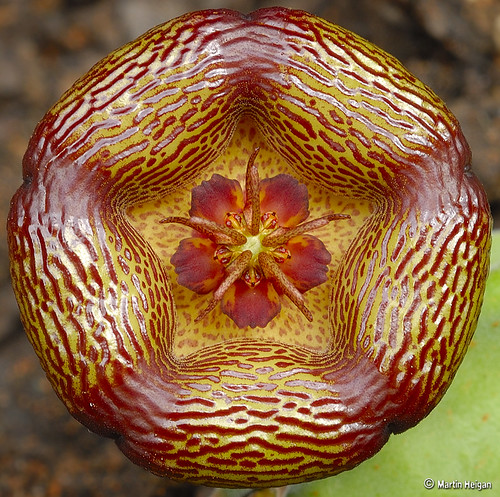"""Stapelia engleriana flower"" by Martin_Heigan"