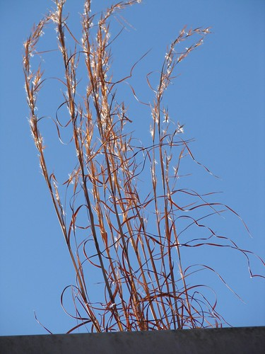 Broomstraw (Andropogon) growing on top of building in gutter by Martin LaBar.
