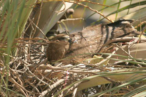 Black Kite nest...Feb 8, 07, Casa Ansal