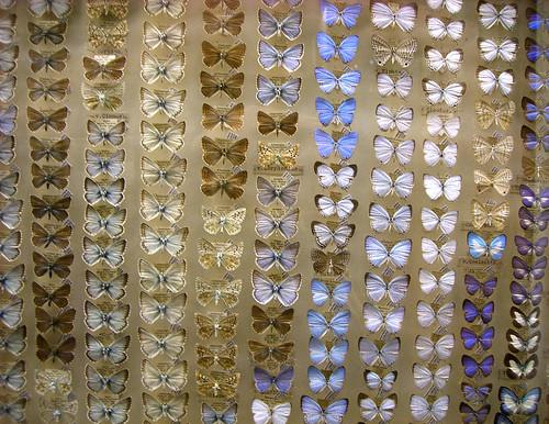 butterflies pinned to a board, Norwich Museum