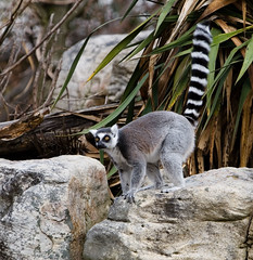 """IMG_3337: Lemur • <a style=""""font-size:0.8em;"""" href=""""http://www.flickr.com/photos/54494252@N00/360060477/"""" target=""""_blank"""">View on Flickr</a>"""