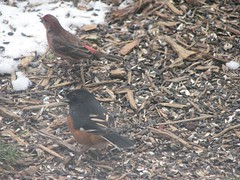 a towhee says what