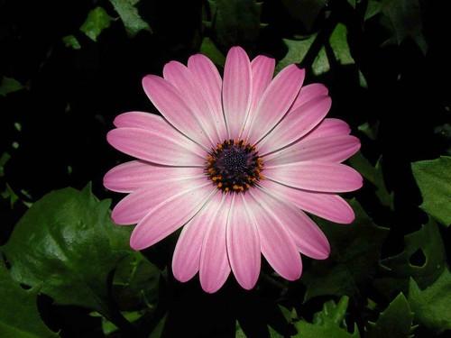 Pink Flower Redux