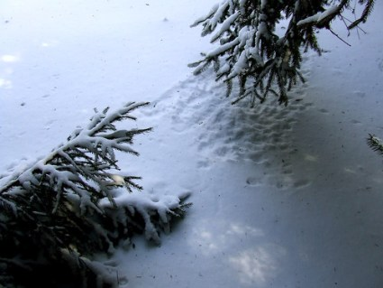 Norway spruce in snow