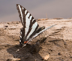 "IMG_5407: Zebra Swallowtail Butterfly • <a style=""font-size:0.8em;"" href=""http://www.flickr.com/photos/54494252@N00/15876985/"" target=""_blank"">View on Flickr</a>"