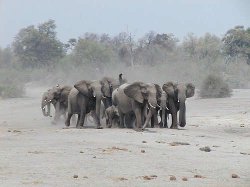 A herd of elephants decides to charge a pride of lions
