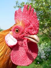 reino vegetal pollo