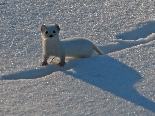 Weasel, smallest carnivore in the world