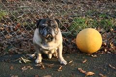 Pug and Dodgeball