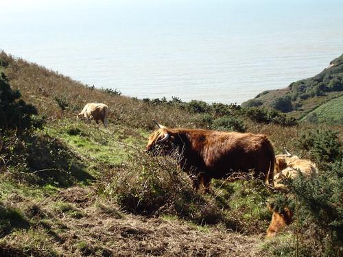 Highland Cattle grazing within Warren Glen