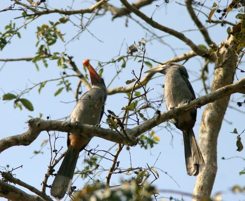 MalabarGrey Hornbills