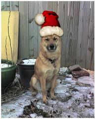 Kuma wearing a santa cap