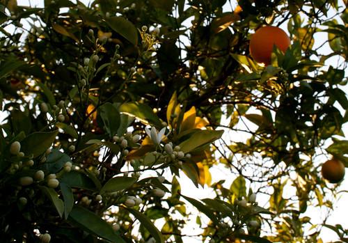 oranges and orange blossoms