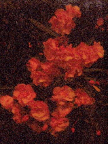 Night Oleander