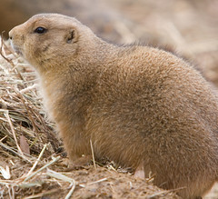 """IMG_3538: Prairie Dog • <a style=""""font-size:0.8em;"""" href=""""http://www.flickr.com/photos/54494252@N00/360061871/"""" target=""""_blank"""">View on Flickr</a>"""