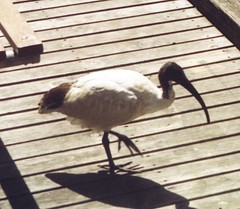 Bird at Darling Harbour