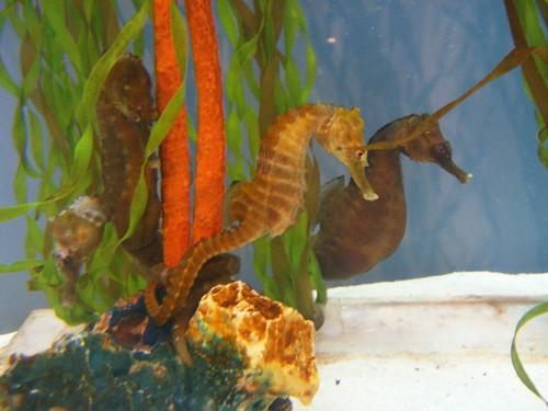 Морски коњиц у акваријуму (фото Night-thing)