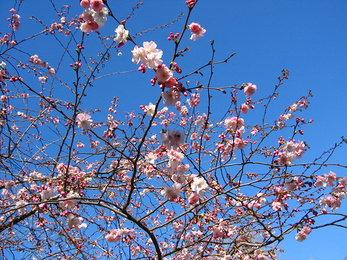 (cherry?) blossoms