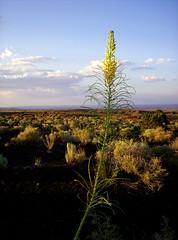 Flower in High Desert