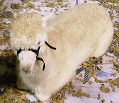 Huacaya baby alpaca Chillin'