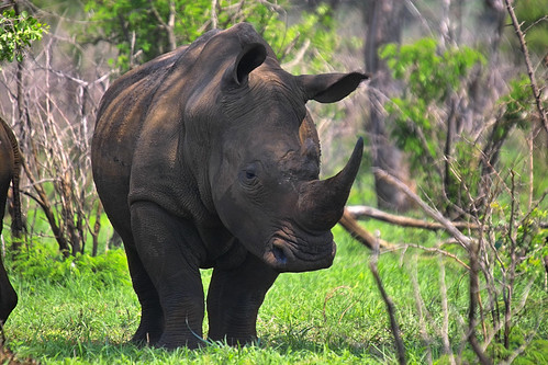 Two Weenen Game Reserve rhinos survive after pouching incident