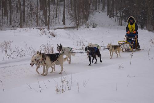 Dogsled Race