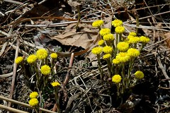Tussilago flowering