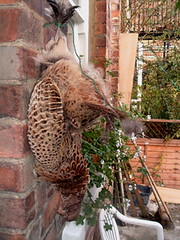 Hanging pheasant