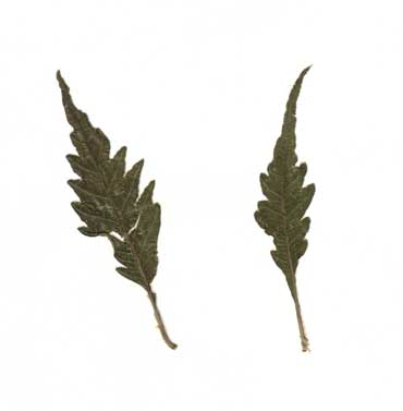Fern-leafed-Beech---leaves_