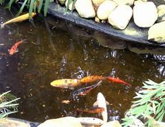 Big honkin' goldfish