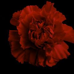 Deep Red Carnation