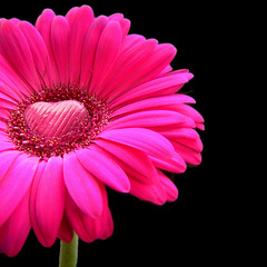 happy valentines day - pink gerbera with a heart of chocolate! by Vanessa Pike-Russell