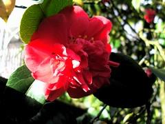 sunstruck gardenia