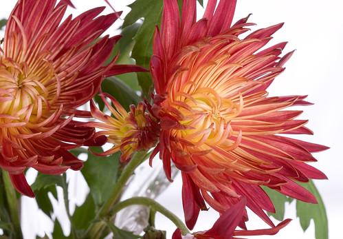 Fall chrysanthemum by jfh686.